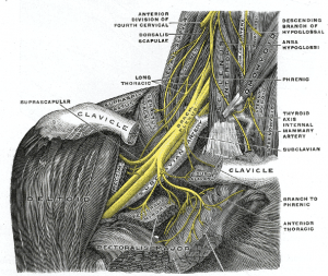 The nerves of the wrist, start in